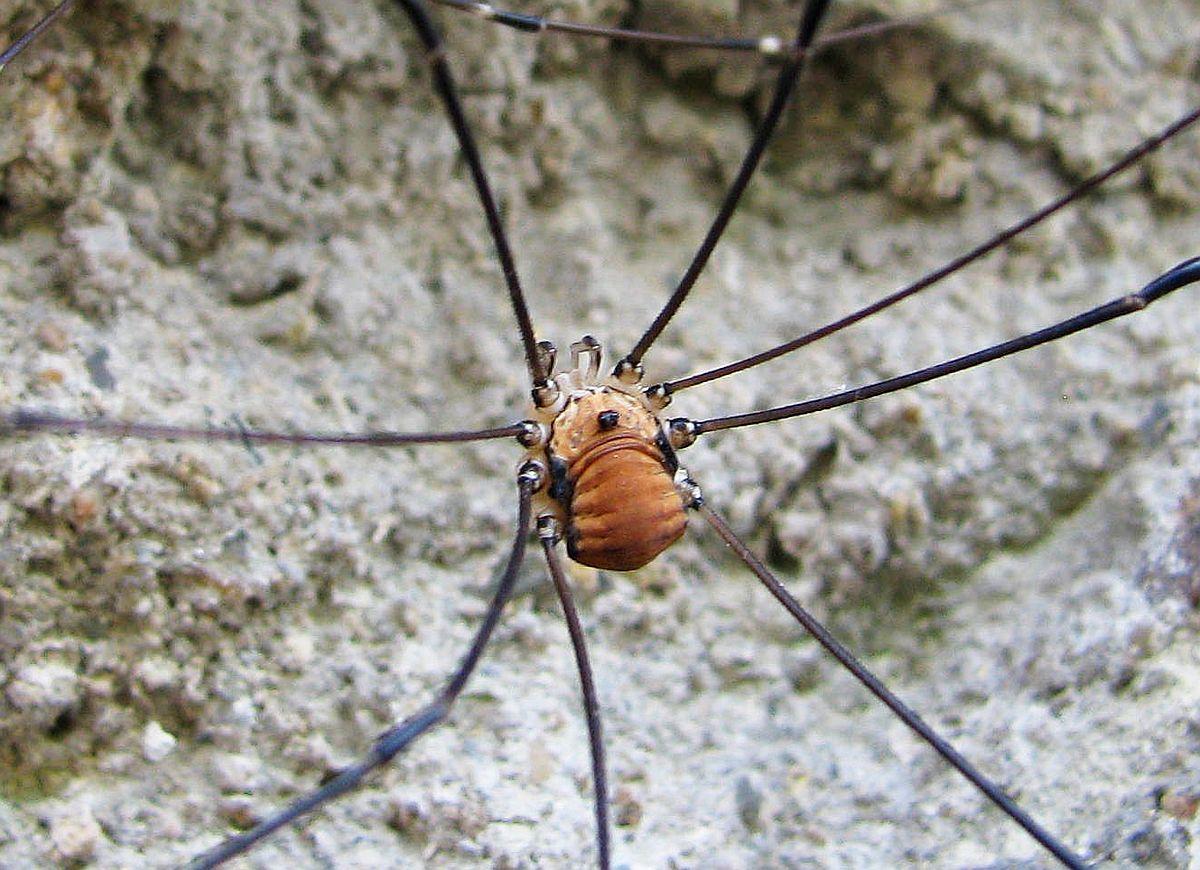 0a146dab720 Sekáči nejsou pavouci! Nemají snovací žlázy. Loví