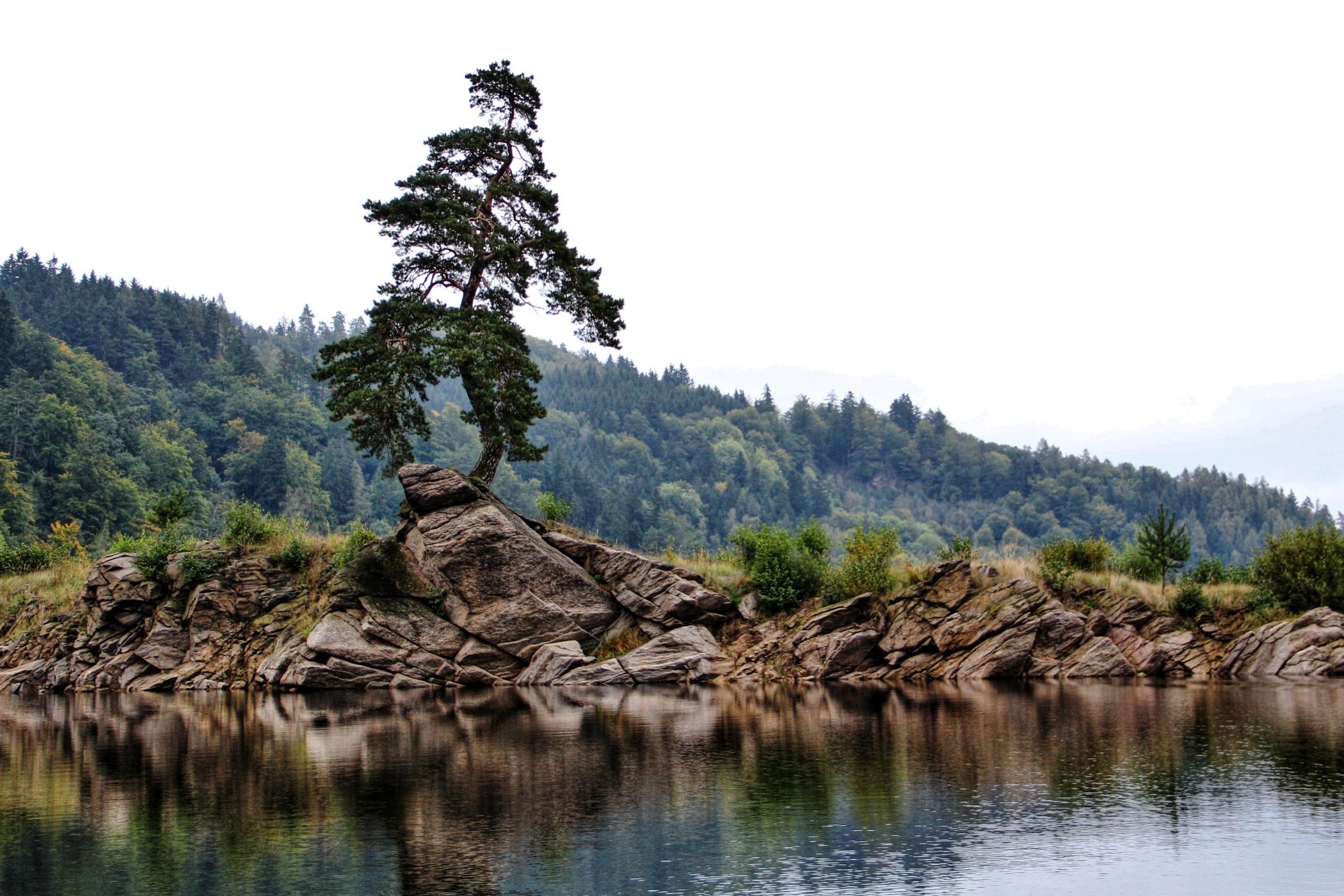 Chudobínská borovice je evropským stromem roku | Vysočina