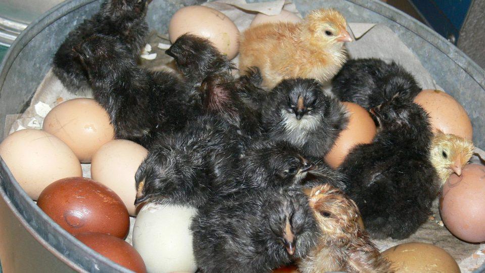 Líhnutí kuřat v ZŠ Bobrová