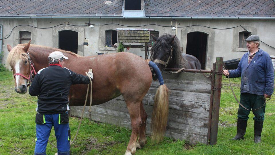 Koně chladnokrevného plemene Belgik