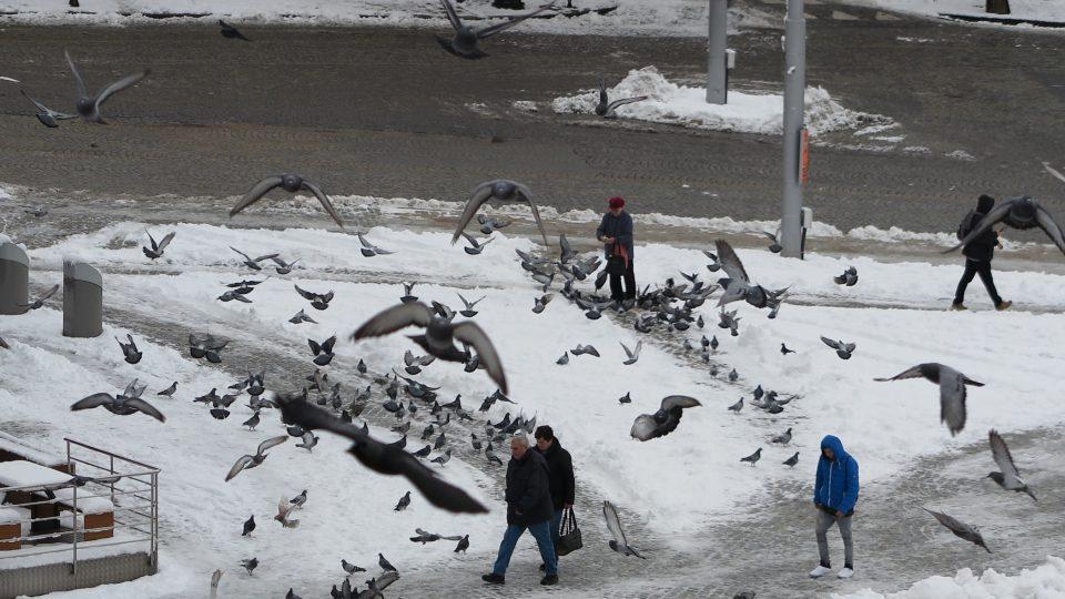 Hejna holubů, Jihlava