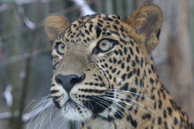 Levhart cejlonský | foto: Zoo Jihlava
