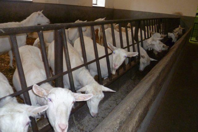 V Ratobořicíchchovají bílé krátkosrsté kozy