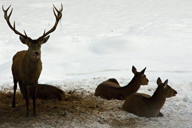 Odpočinek jelenní zvěře