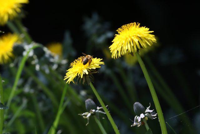 Počasí,  slunce,  včela,  pampeliška | foto: Milan Kopecký,  Český rozhlas