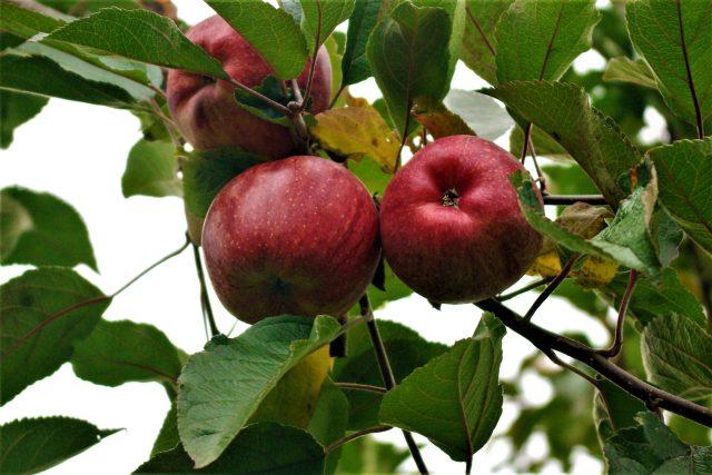 Jablka v  ostroměřském sadu