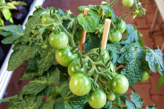 Z plodové zeleniny lze za oknem pěstovat rajčata nebo papriky