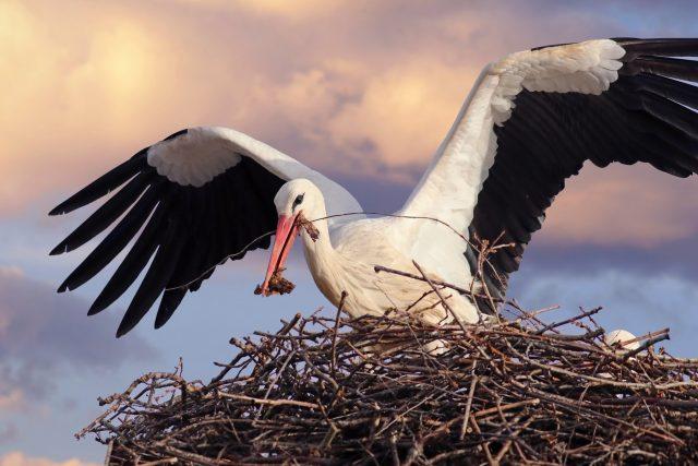 Čápi si rádi hnízda staví ve výškách. Třeba na továrních komínech