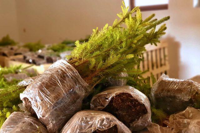 Sazenice jehličnatých stromů, Vysočina