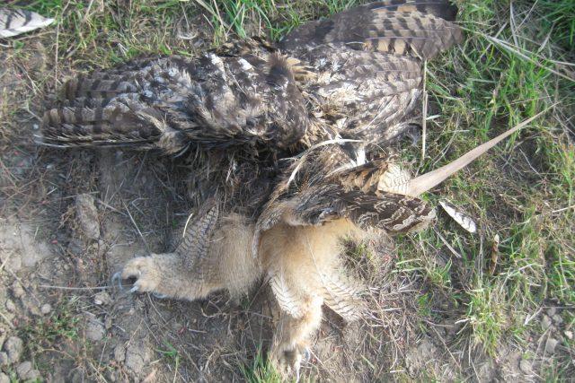 Mrtvý výr velký | foto: Lukáš Komárek