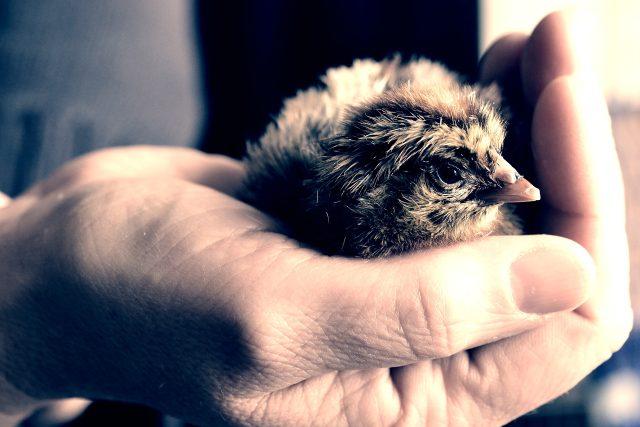 Kuře, ptáče, ruka
