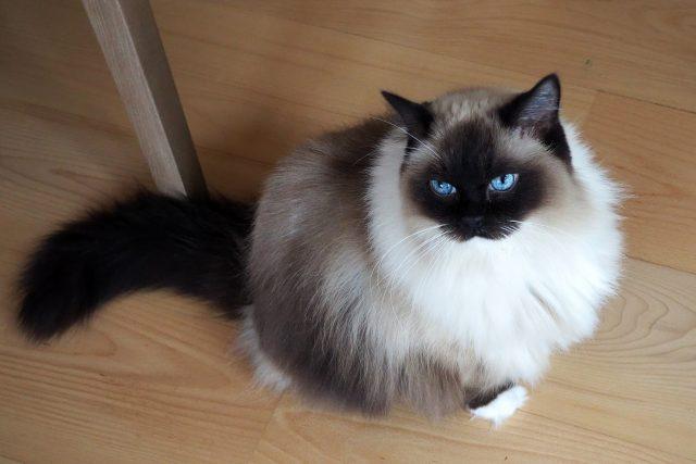 Kočky plemene Ragdoll | foto: Dáša Kubíková