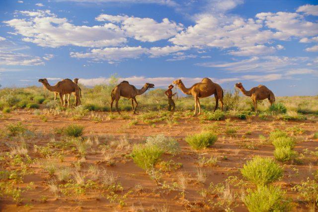 Velbloudi v Austrálii  (ilustrační foto)   foto: Profimedia